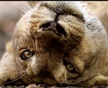 听摄影师讲故事:与狮子亲密接触(笑与泪交融)